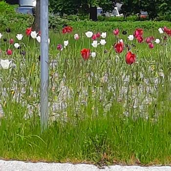 Dieses rot-weiße Blumenmehr habe ich in Buchloe entdeckt!